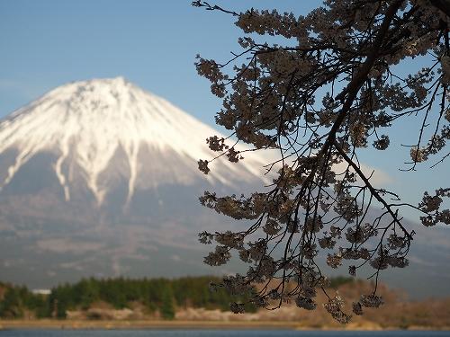 富士山と桜の写真